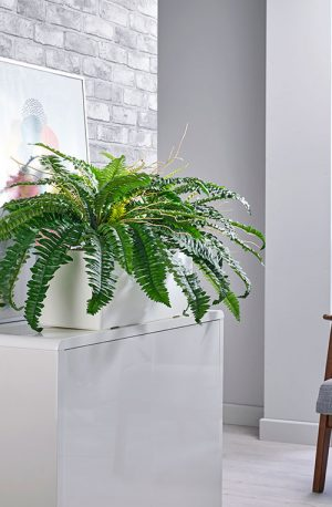 prospect plants boston fern cabinet trough