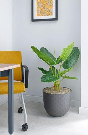 prospect plants design alocasia