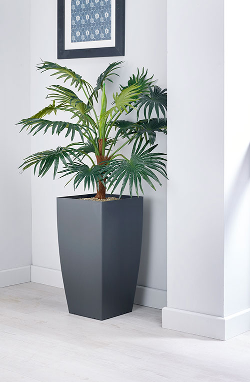 prospect plants essential chinese fan palm