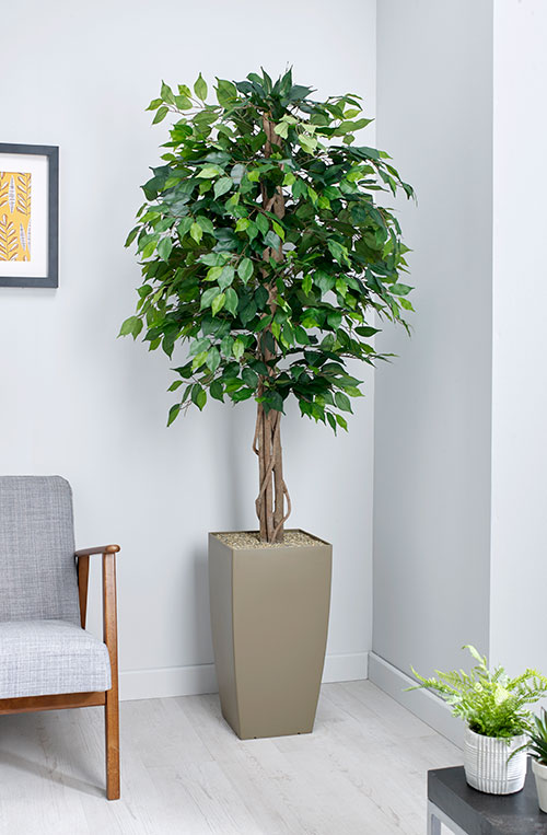 prospect plants essential green weeping fig