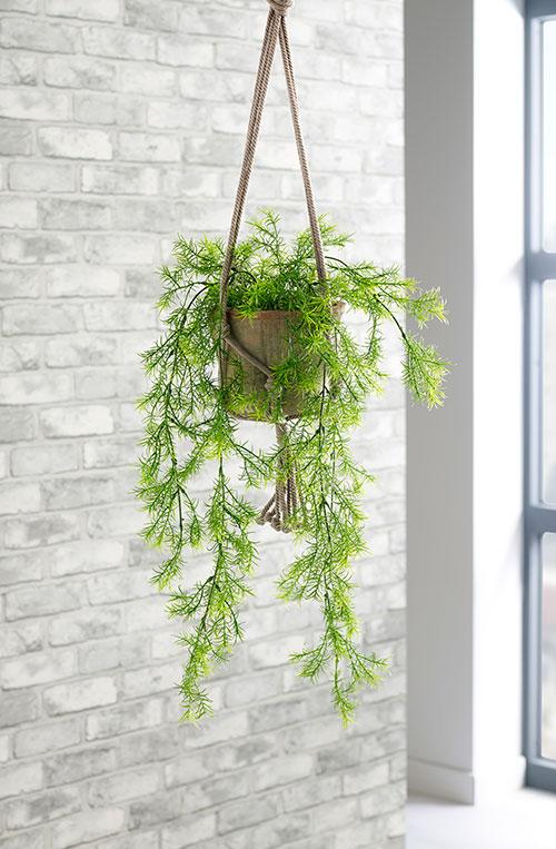 prospect plants hanging plants trailing asparagus fern