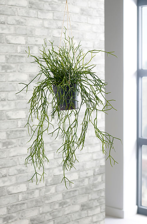 prospect plants hanging plants trailing rhipsalis