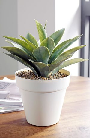 prospect plants table top agave